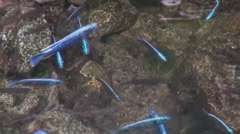 Blue fish in a pond Stock Footage