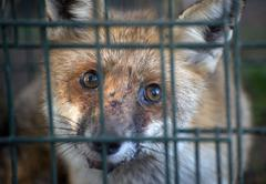 red fox in cage - stock photo