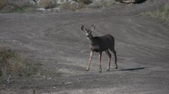 Mule deer wandering along urban area, gravel road Stock Footage