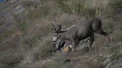 Mule deer buck with nice rack descending scrub brush hill Stock Footage