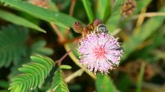 Mimosa pucida (sleeping grass) and honey bee Stock Footage