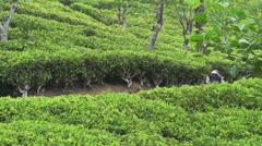 Green tea picker returning from a plantation Stock Footage