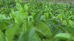 Green tea plantation Stock Footage
