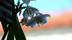 Hanging white and yellow orchid with a soft blurred orange background Stock Footage