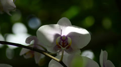 White pink orchid hanging in calm Stock Footage