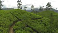 Stock Video Footage of AERIAL: Green tea rows