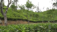 People harvest green tea bush Stock Footage