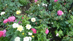 Different colors and types of UK roses in full bloom.(ROSE--75) Stock Footage