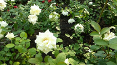 Close-up view of full bloom whitish yellow UK roses.(ROSE--74) Stock Footage