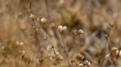 Close up to dry grass flower in the wind - stock footage