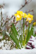 Daffodils and Snow, Spring Thaw - stock photo