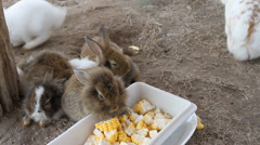 Brown rabbit eating corn. Stock Footage