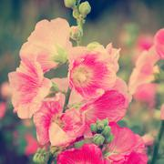 Pink hollyhock (althaea rosea) blossoms vintage tone style Stock Photos