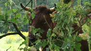 Stock Video Footage of Biotope conservation with ruminants, Dutch Belted cattle