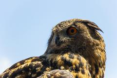 alert spotted eagle owl - stock photo