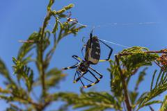 golden orb weaver spider with a young baby 2 - stock photo