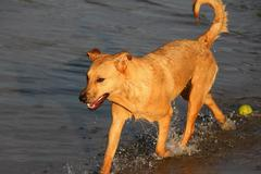 cross breed dog exits the water - stock photo
