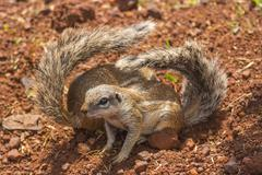 two ground squirrels with folded tails - stock photo