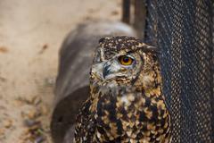 Cape eagle owl in captivity Stock Photos