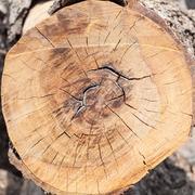Puu ympyrä, poikkileikkaus kannolta Kuvituskuvat