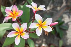 Pink plumeria flower Stock Photos