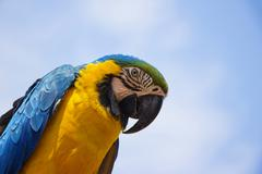 blue and gold macaw portrait 3 - stock photo