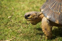 radiated tortoise close up portrait 4 - stock photo