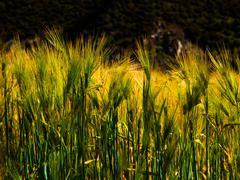 Grain field Kuvituskuvat