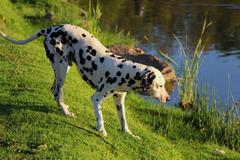 curious dalmation explores the waters edge 1 - stock photo