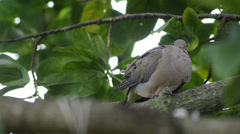 Young mourning dove (Zenaida macroura) hidden on green vegetation 03 Stock Footage