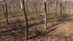Pruned blackberry orchard Stock Footage