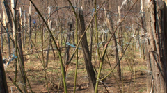 Pruned blackberry orchard in spring Stock Footage