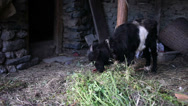 Stock Video Footage of Domestic goat in the himalayas