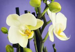 light yellow orchid flowers with buds - stock photo