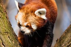 Red panda (ailurus fulgens) sitting in a tree at a zoo. Stock Photos