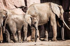 African elephants with their trunks Stock Photos
