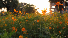 Yellow marigold flowers in the morning Stock Footage