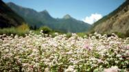 Stock Video Footage of HD: Pan Shot of a buckwheat plantation in the Himalayas