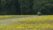 Tractor with mulching attachment clearing land from invasive Ragwort + crows Stock Footage