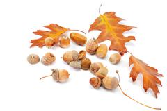 autumn oak leaves and acorns isolated on a white background. - stock photo
