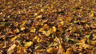 Stock Video Footage of Leaves Blow In Autumn Breeze