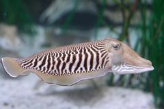 cuttlefish - stock photo