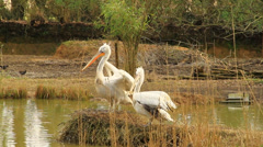 White Storks - stock footage