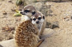 Two meerkats (suricates) sitting on the ground. Stock Photos