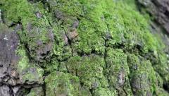 Green moss on a tree - stock footage