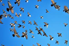 Many flying pigeons Stock Photos