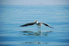 Pelican Stock Photos