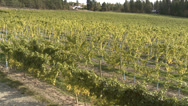 Stock Video Footage of agriculture, vineyard, just before harvest pan