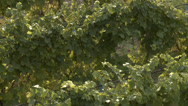 Stock Video Footage of agriculture, vineyard grapes, just before harvest zoom back