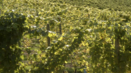 Stock Video Footage of agriculture, hillside vineyard just before harvest, tilt reveal to lake,